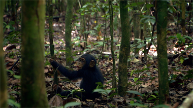 Chimpanzee - Featurette