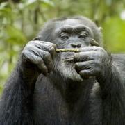 Still Chimpanzee