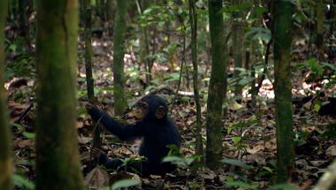Chimpanzee - Featurette